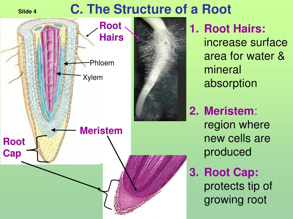 C. The Structure of a Root
