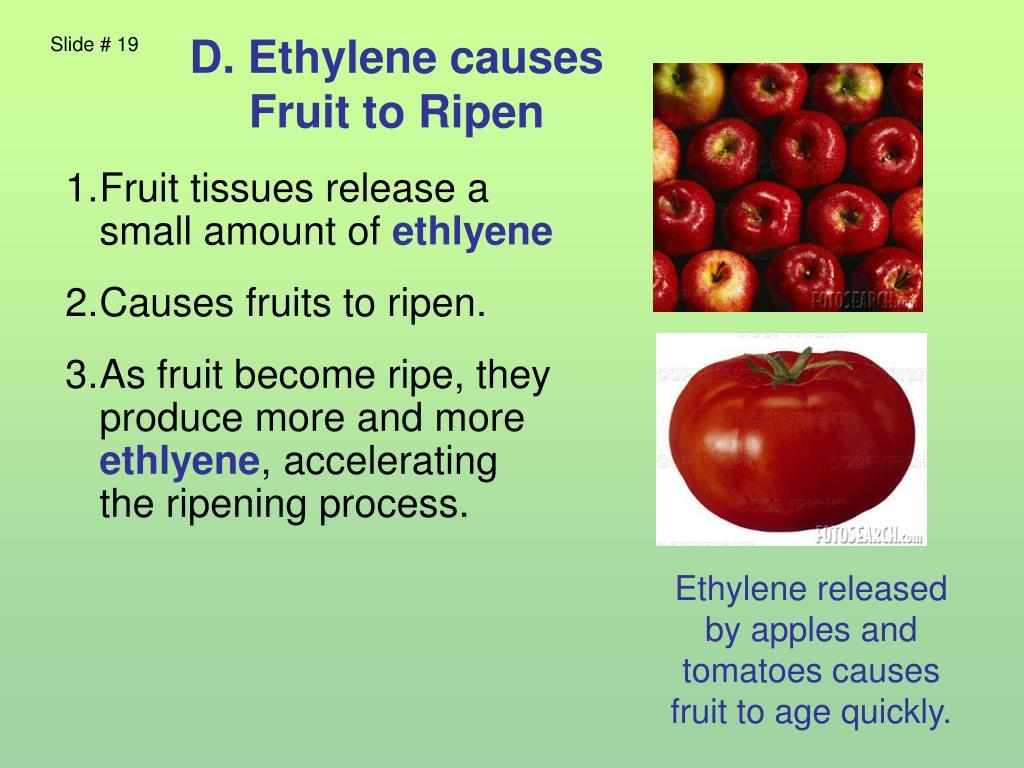 D. Ethylene causes Fruit to Ripen