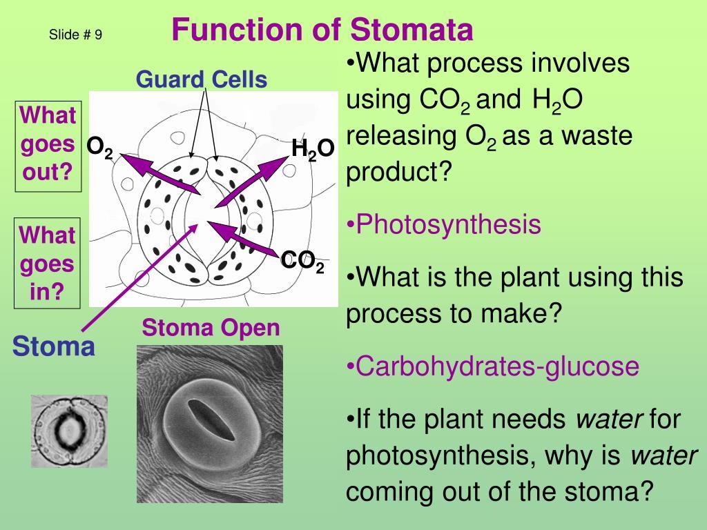 Function of Stomata