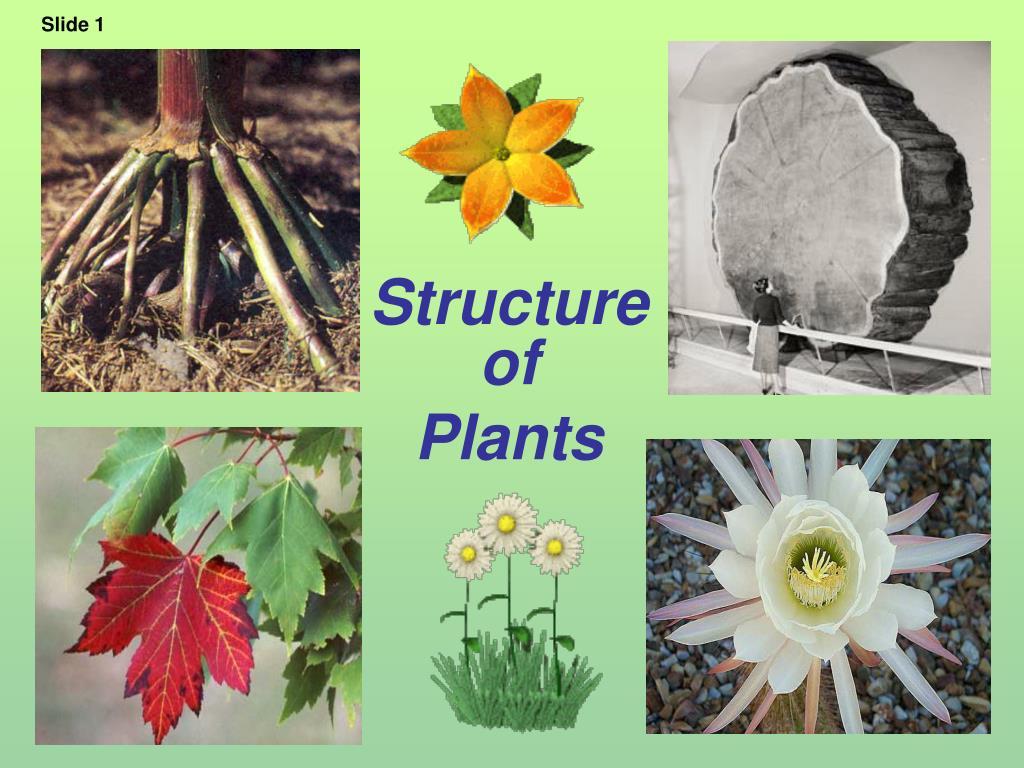 structure of plants l.