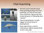 filial imprinting