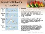 inherited behavior in lovebirds