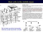 hair cells in the otolith organ