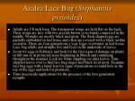azalea lace bug stephanitis pyrioides