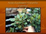 azalea leafminer caloptilia azaleella14