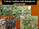 cottony cushion scale damage on pittosporum