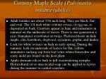 cottony maple scale pulvinaria innumerabilis