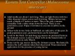 eastern tent caterpillar malacosoma american