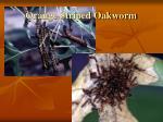 orange striped oakworm