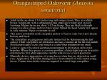 orangestriped oakworm anisota senatoria