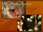 southern red mite