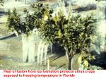 heat of fusion from ice formation protects citrus crops exposed to freezing temperature in florida