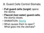 8 guard cells control stomata
