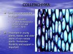 collenchyma
