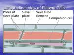 longitudinal view of phloem cells