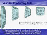 vascular conducting cells