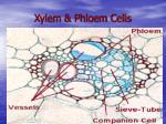 xylem phloem cells