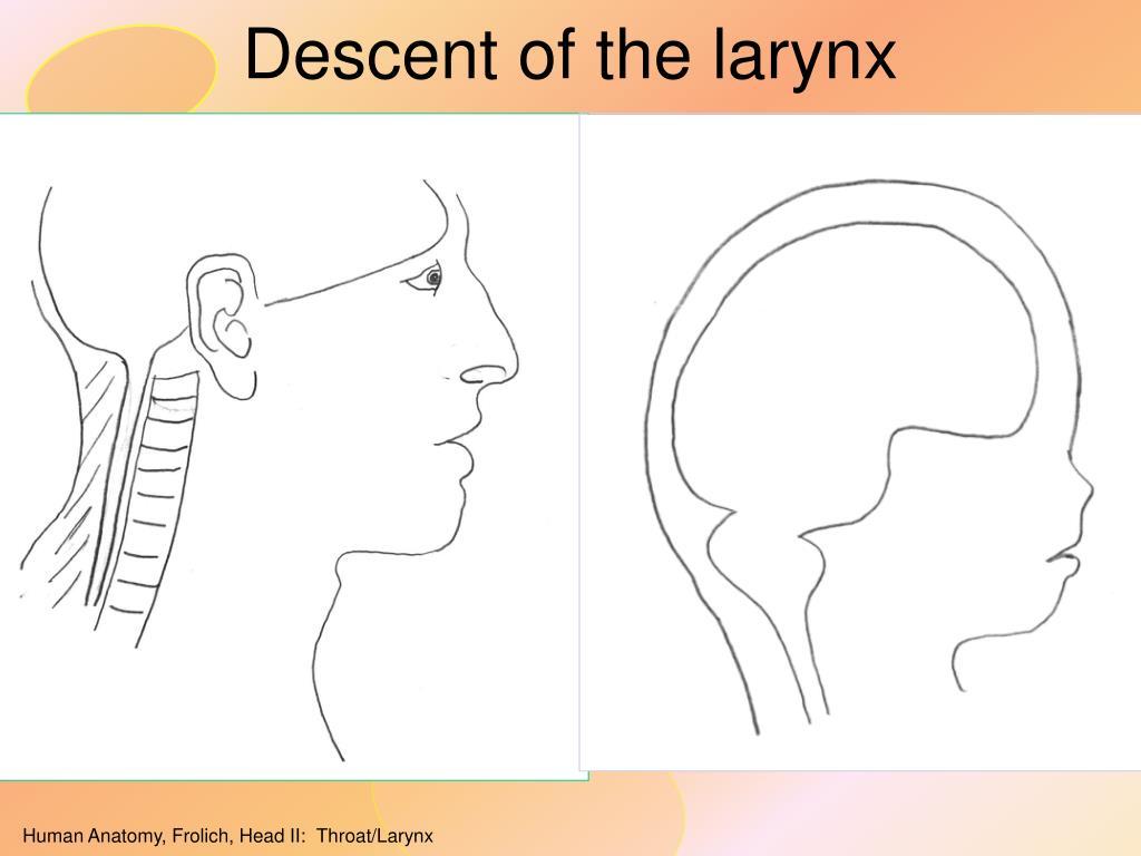 Descent of the larynx