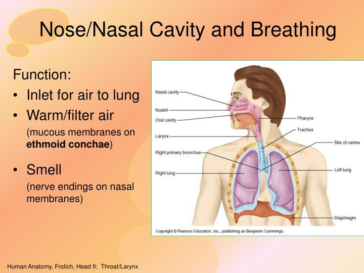 Nose nasal cavity and breathing