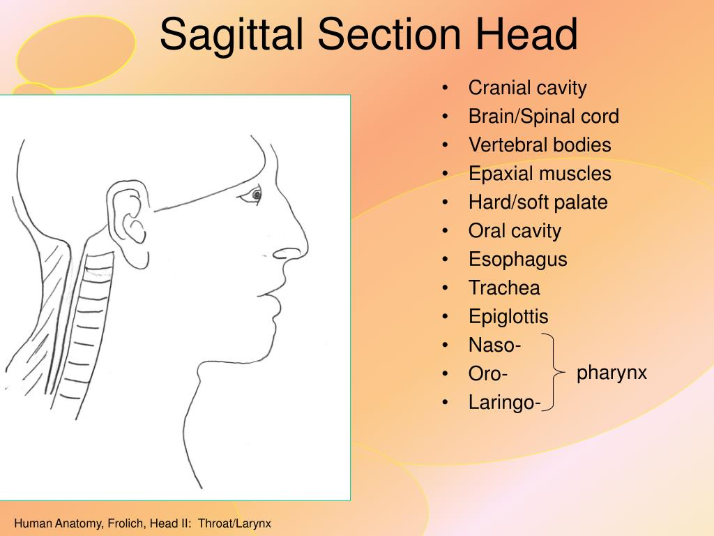 Sagittal Section Head