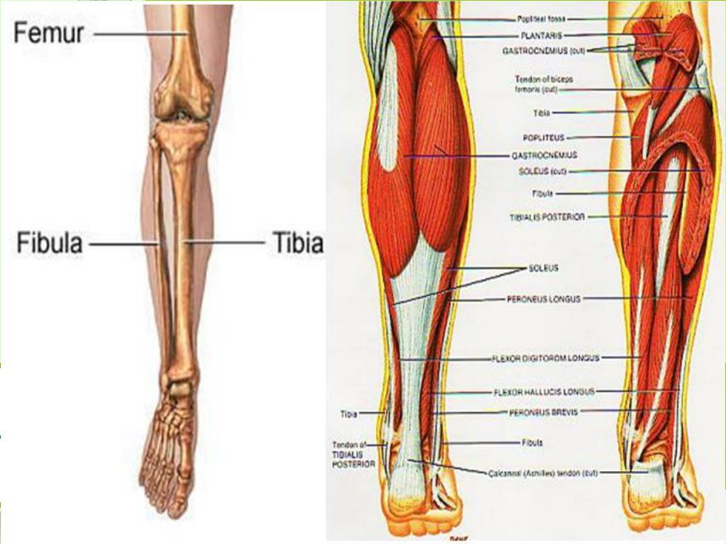 back of the leg l.