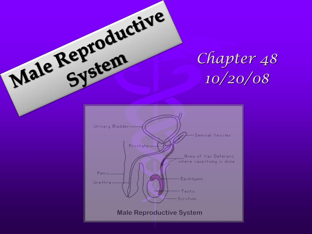 male reproductive system l.