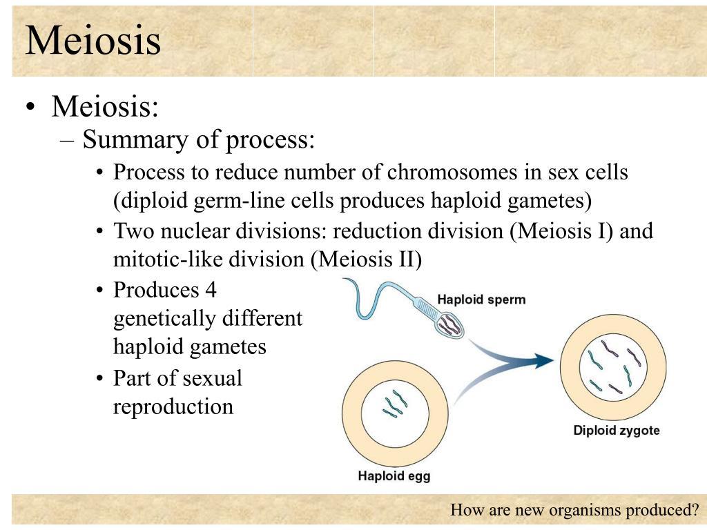 meiosis l.