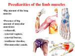 peculiarities of the limb muscles