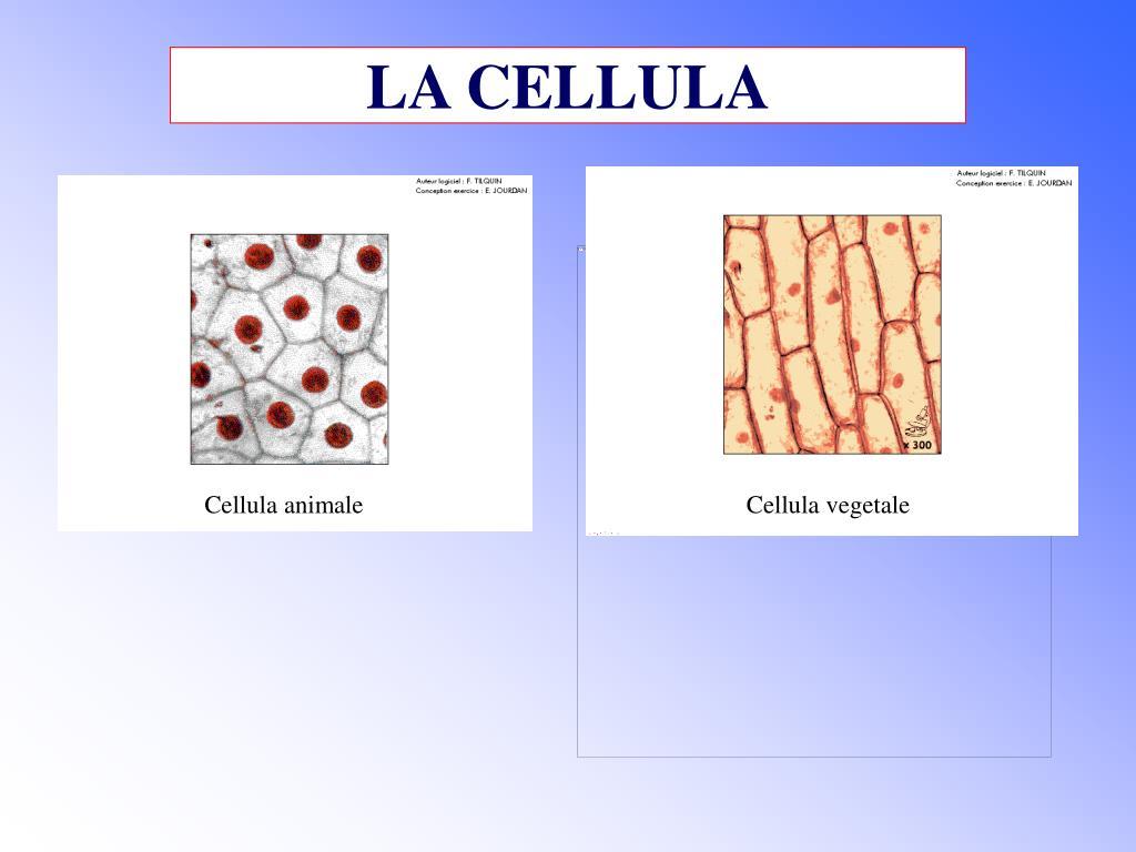 la cellula l.