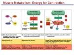 muscle metabolism energy for contraction49