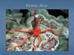 brittle star