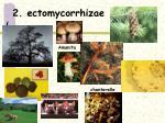 2 ectomycorrhizae