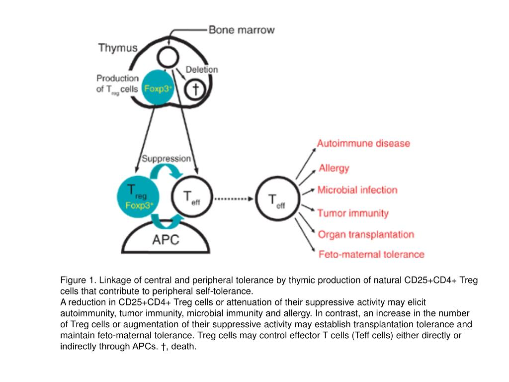 Figure 1. Linkage of central and peripheral tolerance by thymic production of natural CD25+CD4+ Treg cells that contribute to peripheral self-tolerance.