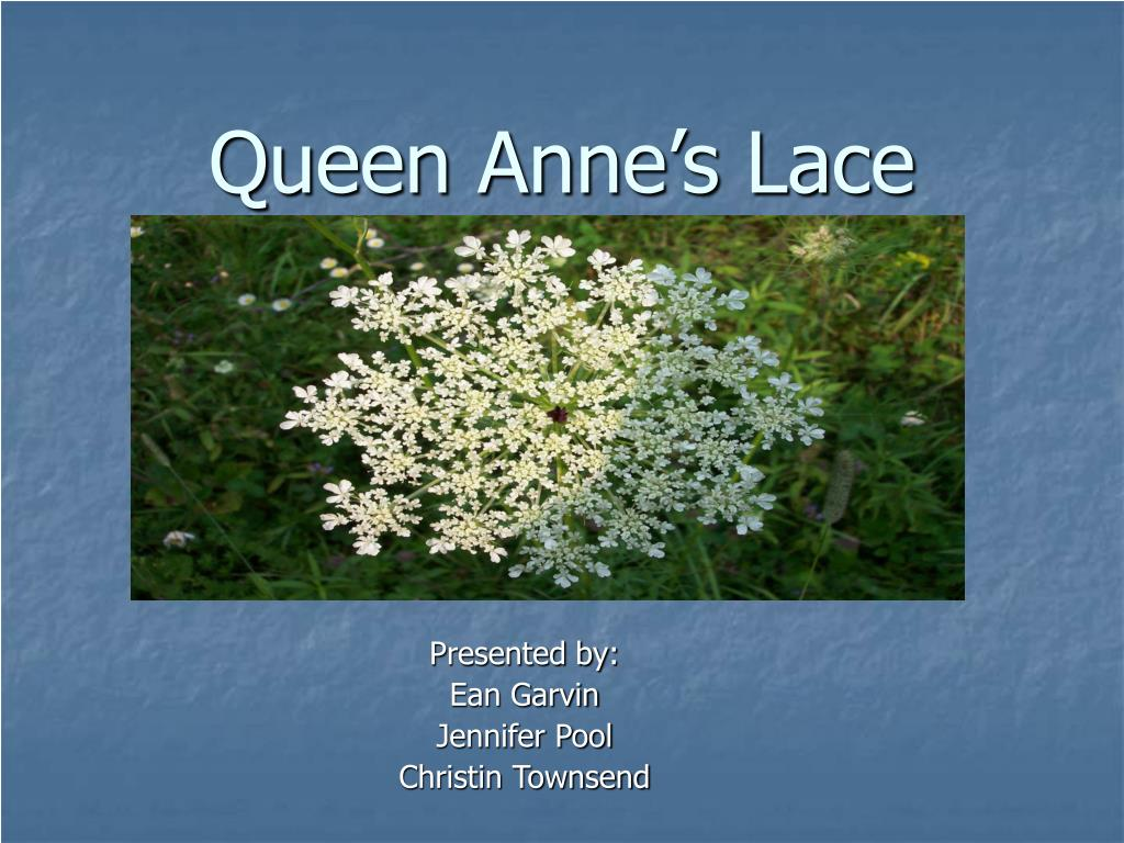 queen anne s lace l.