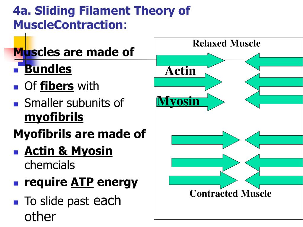 4a. Sliding Filament Theory of MuscleContraction