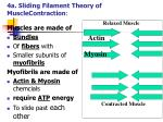 4a sliding filament theory of musclecontraction