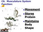 c6 musculature system function