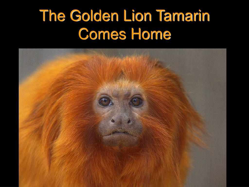 the golden lion tamarin comes home l.
