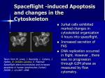 spaceflight induced apoptosis and changes in the cytoskeleton