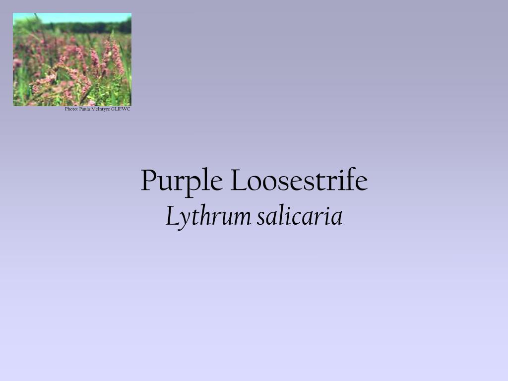 purple loosestrife lythrum salicaria l.