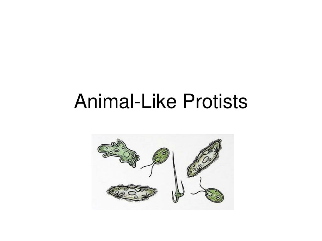 animal like protists l.
