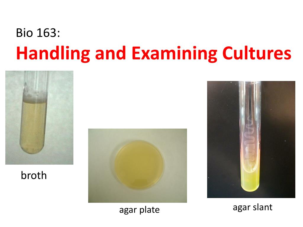 bio 163 handling and examining cultures l.