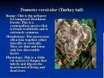 trametes versicolor turkey tail
