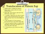 translocation of phloem sap