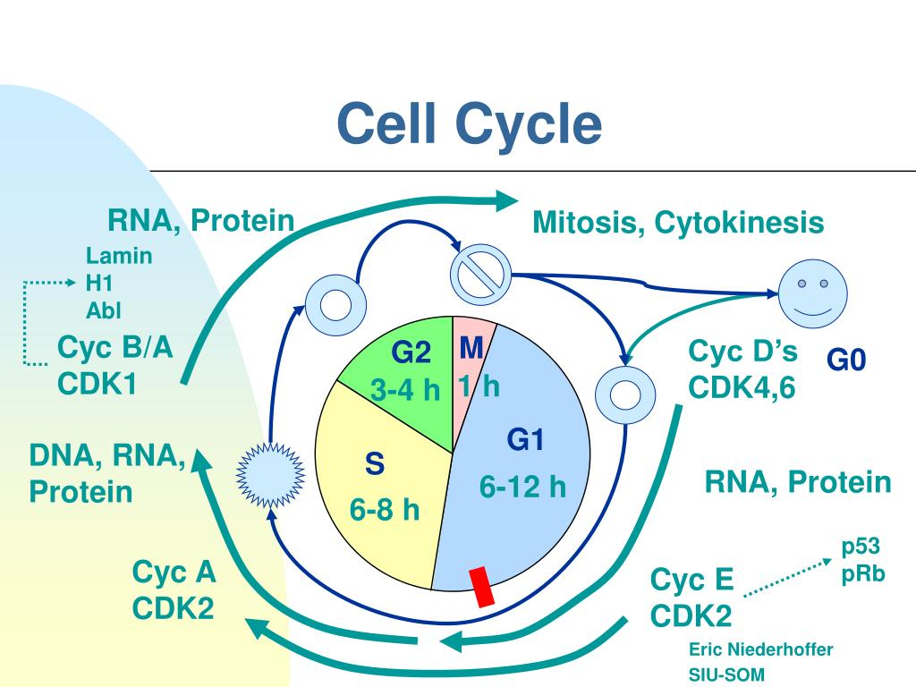 PPT - Cell Cycle PowerPoint Presentation, free download ...