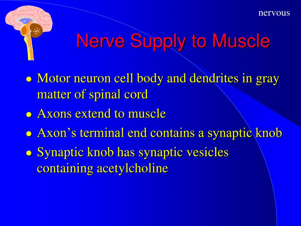 Nerve Supply to Muscle