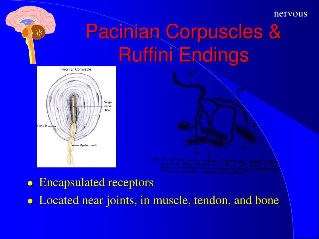Pacinian Corpuscles & Ruffini Endings