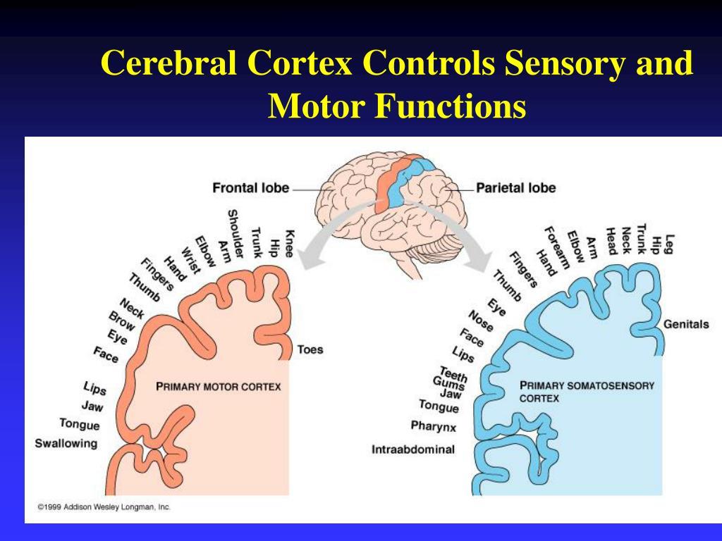 Cerebral Cortex Controls Sensory and Motor Functions