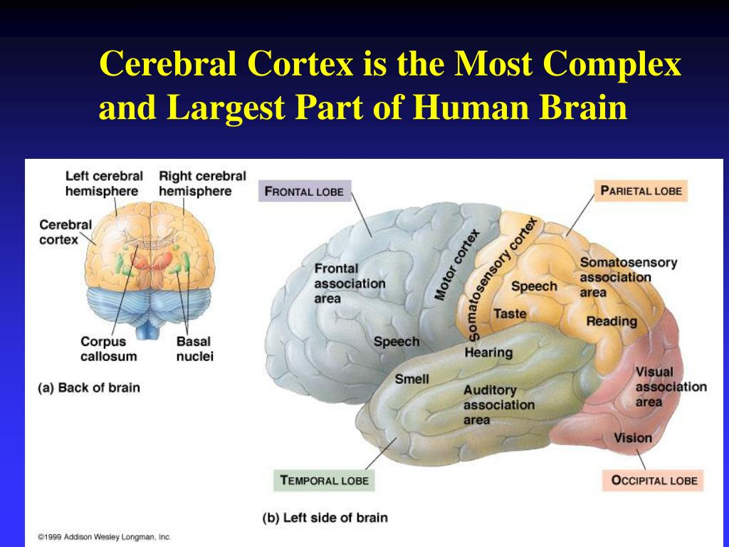 Cerebral Cortex is the Most Complex and Largest Part of Human Brain