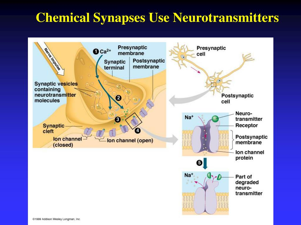 Chemical Synapses Use Neurotransmitters